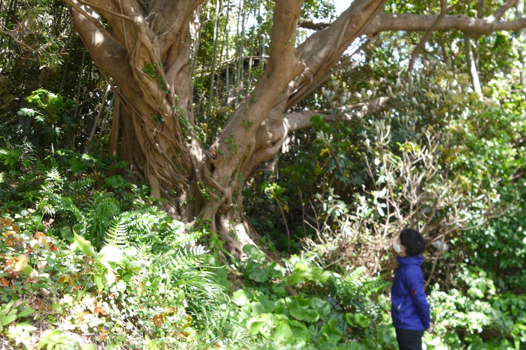 渡良のアコウ樹-1
