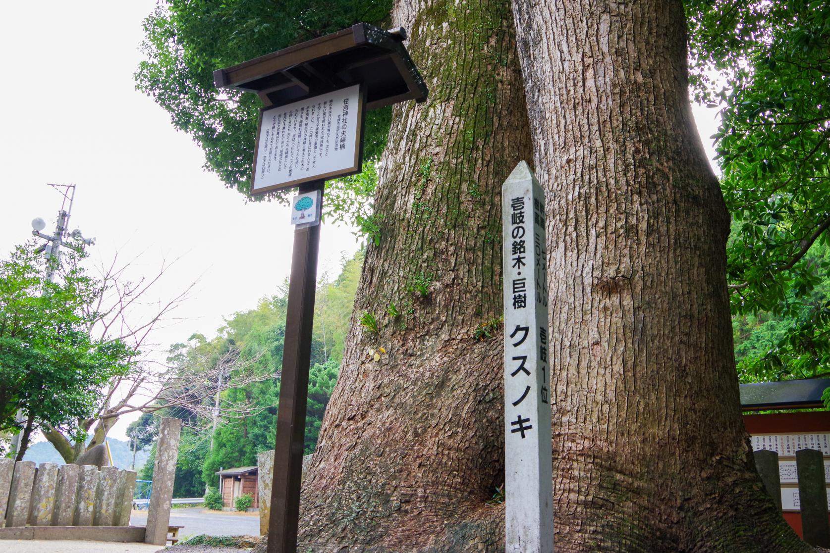 願い事を叶える「住吉神社」の夫婦楠-4