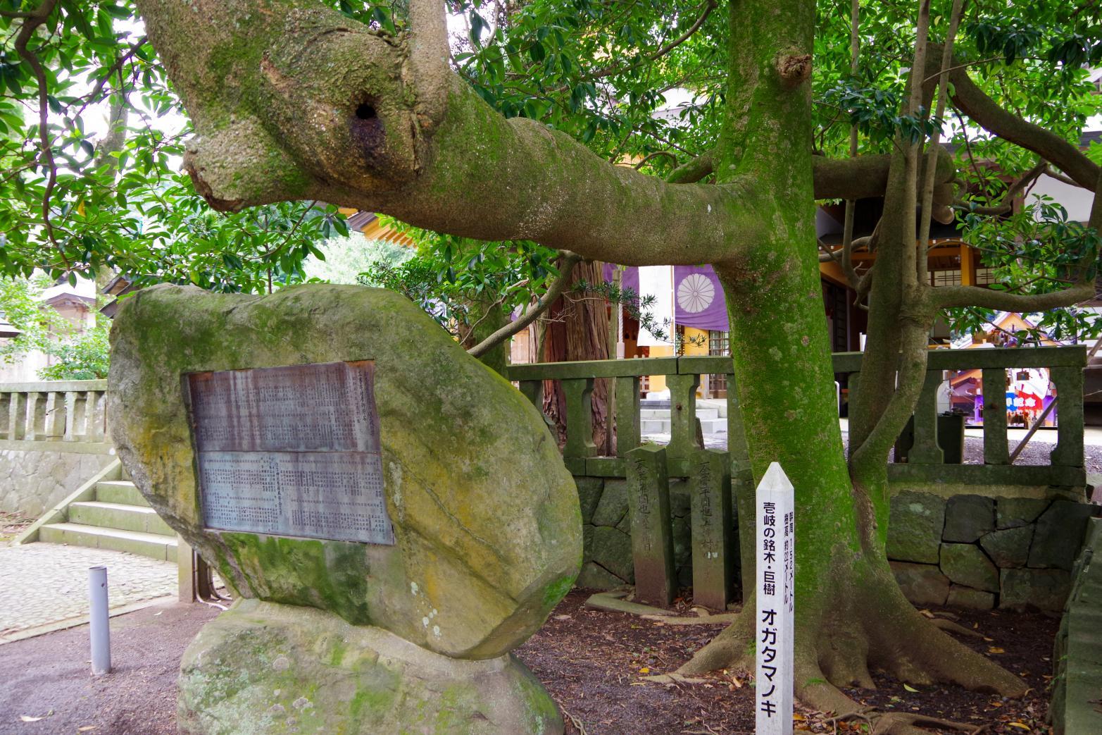 願い事を叶える「住吉神社」の夫婦楠-6