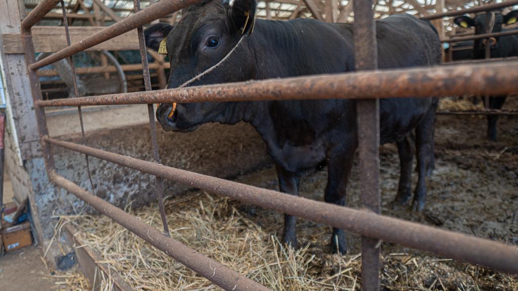 年間900頭しか出荷されない「壱岐牛」とは-1