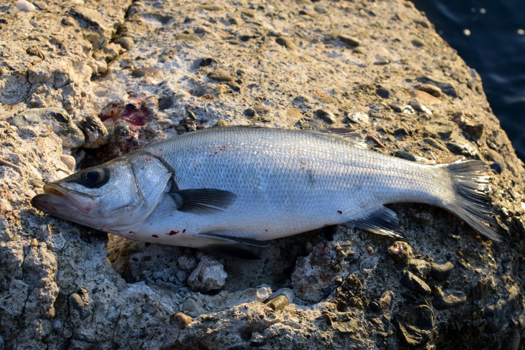 壱岐は釣り人の聖地-6