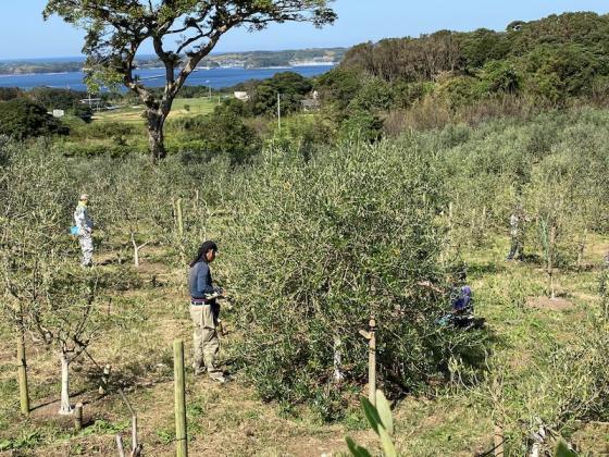 オリーブの収穫体験-3
