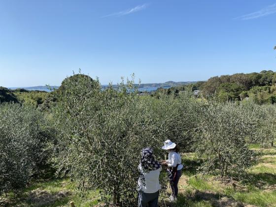 オリーブの収穫体験-0