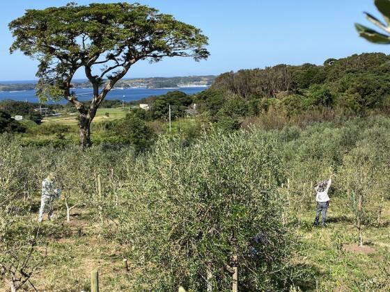 オリーブの収穫体験-2