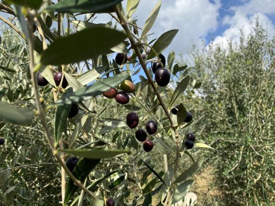 オリーブの収穫体験-1